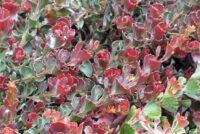 Adenanthos cuneatus jug flower 'Coral Carpet'