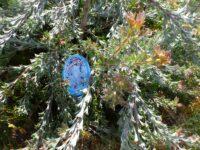 Adenanthos hybrid - jug-flower 'Waratah Bay'