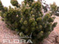 Adenanthos sericeus - dwarf woolly bush