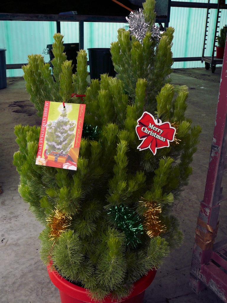 Garden Bush: Adenanthos Sericeus 'Silver Streak'
