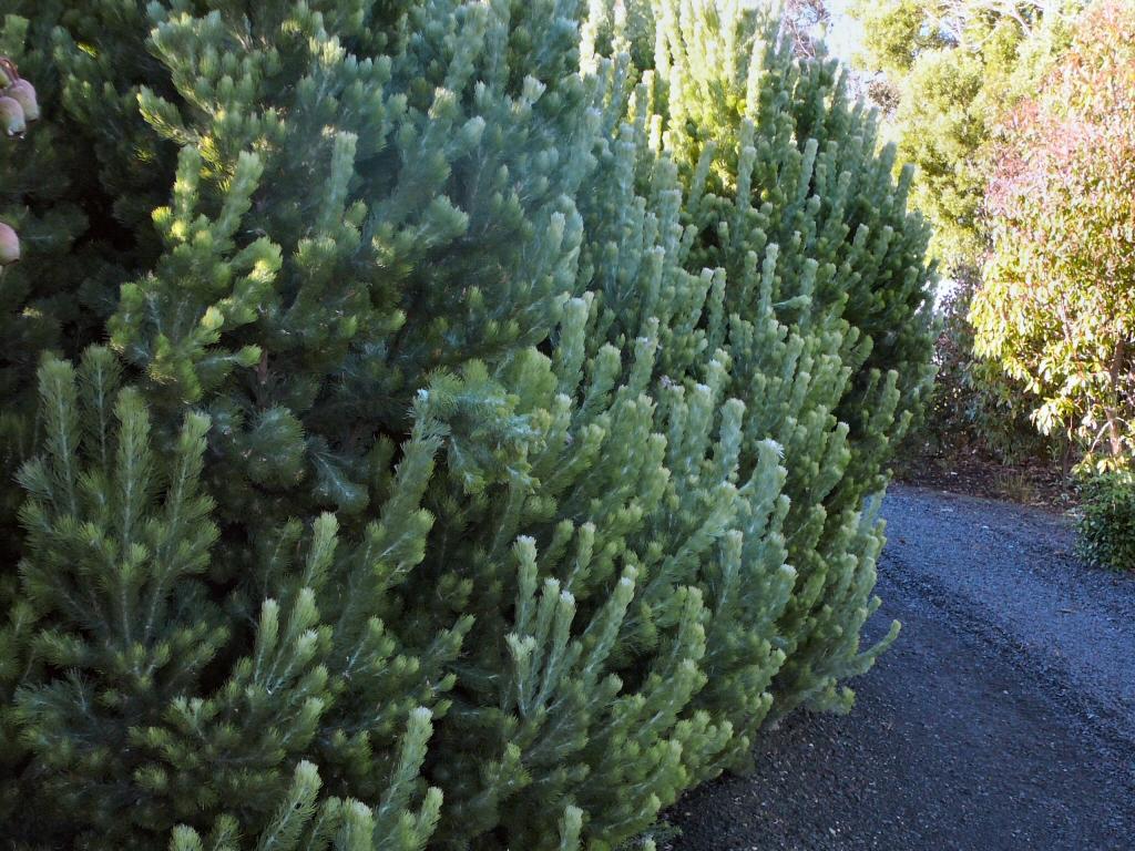 adenanthos sericeus woolly-bush variety silver streak