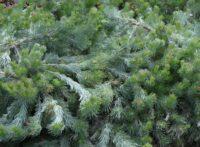 Adenanthos sericeus woolly bush 'Silver Wave'
