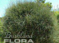 Allocasuarina verticillata - sheoak dwarf 'Noodles'