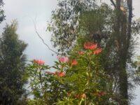 Alloxylon pinnatum - Dorrigo waratah