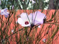 Alyogyne hakeifolia native hibiscus 'Melissa Anne'