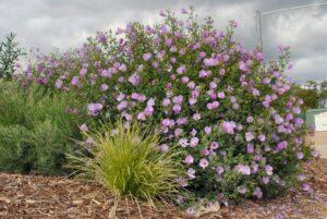 Alyogyne huegelii - native hibiscus - 'Misty'