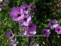 Alyogyne - native hibiscus - 'Karana'