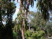 Angophora costata - Sydney Red Gum gum nuts