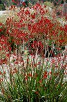 Anigozanthos flavidus kangaroo paw 'Bush Endeavour'