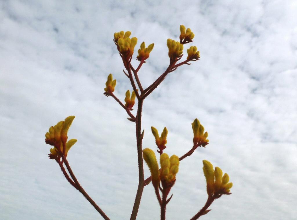 Anigozanthos flavidus kangaroo paw 'Landscape Yellow'