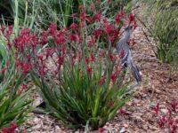 Anigozanthos 'Bush Elegance' is a good smaller variety of kangaroo paw