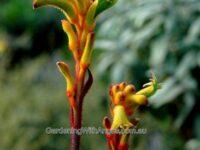 Anigozanthos hybrid kangaroo paw 'Bush Tenacity'
