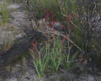 Anigozanthos rufus - red kangaroo paw