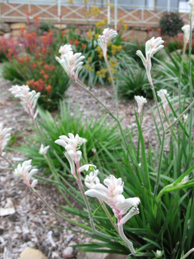 Garden Bush: Anigozanthos 'Bush Diamond' – Kangaroo Paw