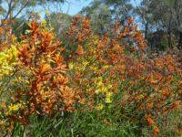 Anigozanthos kangaroo paw 'Orange Cross'