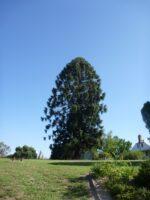 Araucaria bidwillii - bunya pine has edible nuts