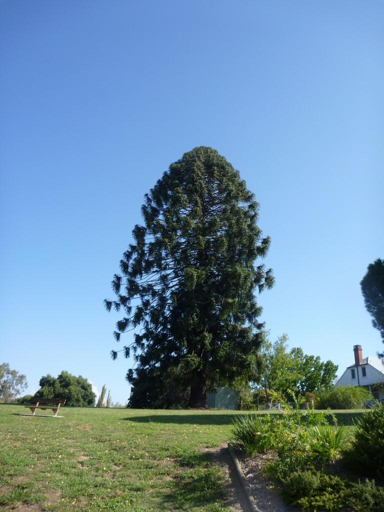 Araucaria Bidwillii Bunya Pine Gardening With Angus