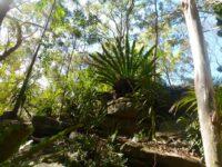 Asplenium australasicum - birds nest fern