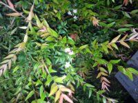 Austromyrtus dulcis - migdgin berry