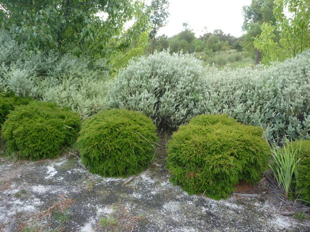 Very Low Light Plants Babingtonia Virgata Howie S Sweet Midget Heath Myrtle