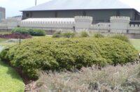 Babingtonia similis myrtle 'Howie's Sweet Midget'