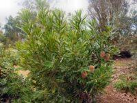 Banksia aemula - wallum banksia
