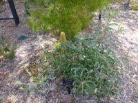 Banksia ashbyi - Ashby's Banksia