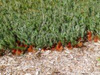 Banksia blechnifolia - groundcover banksia