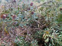 Banksia burdettii - Burdett's banksia