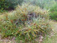 Banksia candolleana - propellor banksia