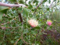 Banksia cuneata - matchstick banksia