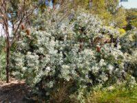 Banksia epica - epic banksia