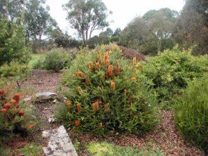 Banksia ericifolia 'Little Eric'