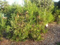 Banksia ericifolia - heath banksia