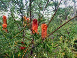 Banksia ericifolia- Heath Banksia