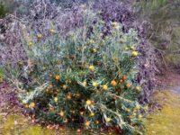 Banksia Formosa - showy dryandra