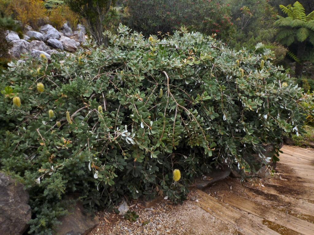 Banksia Integrifolia Roller Coaster Banksia Gardening With Angus