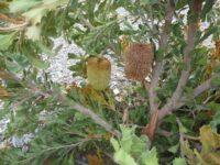 Banksia lemmanniana - golden ball banksia is a very ornamental plant