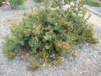 Banksia lemmanniana - golden ball banksia is a great garden plant