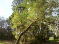 Banksia littoralis - Swamp banksia