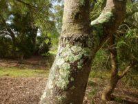 Banksia littoralis - Swamp banksia trunk