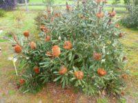 Banksia menziesii has large orange nectar rich flowers