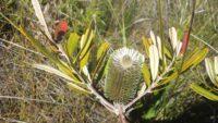 Banksia oblongifolia - fern leaf banksia