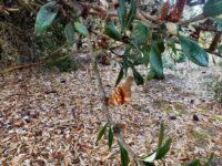 Banksia saxicola- Grampians banksia