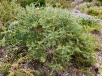 Banksia scabrella - Burma road banksia