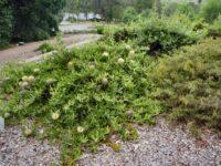Banksia serrata saw banksia 'Pygmy Possum'