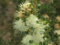 Banksia sessilis - parrot bush
