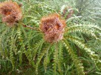 Banksia speciosa - Esperance banksia
