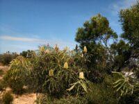 Banksia speciosa - showy banksia