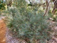 Banksia sphaerocarpa - Fox banksia